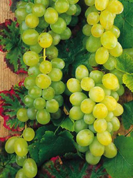 Vigne 'Vroege van der Laan'