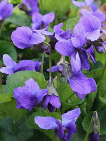 Violette à parfum 'Königin Charlotte'