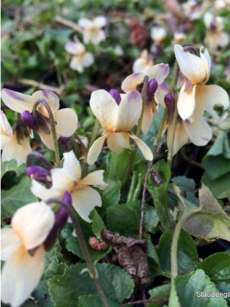 Violette à parfum 'Vanilla'