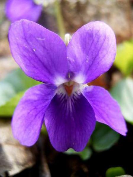Violette à parfum