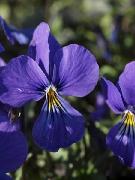 Violette cornue 'Blaue Schönheit'