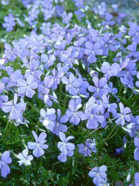 Violette cornue 'Boughton Blue'