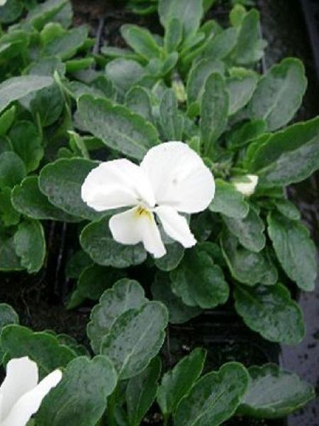 Violette cornue 'Butterfly White'