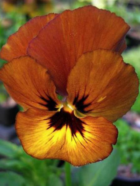 Violette cornue 'Irish Molly'