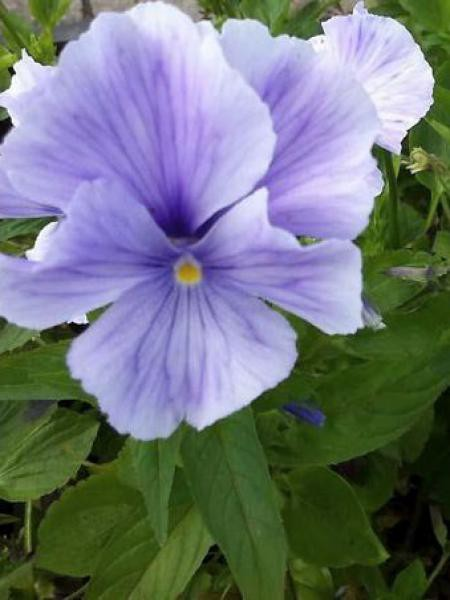 Violette cornue 'John Wallmark'