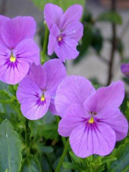 Violette cornue 'Letitia'