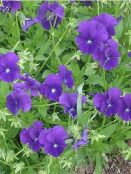 Violette cornue 'Martin'