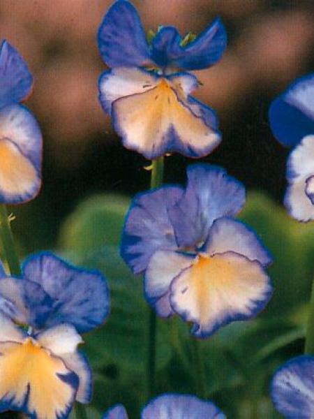 Violette cornue 'Rebecca'