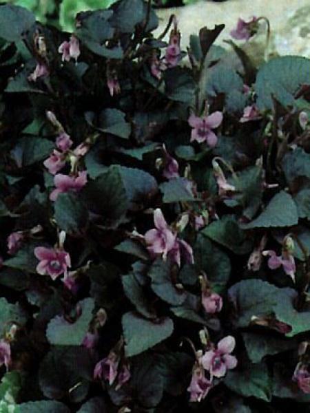 Violette de Labrador