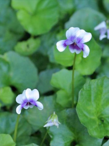 Violette lierre