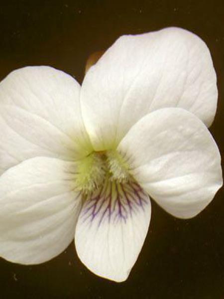 Violette sororia 'Albiflora'