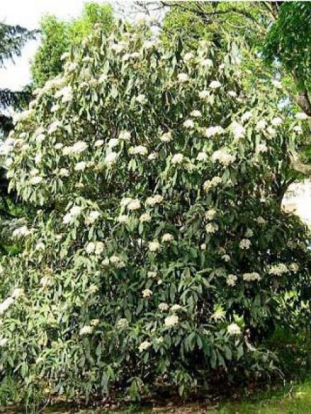 Viorne à feuilles ridées