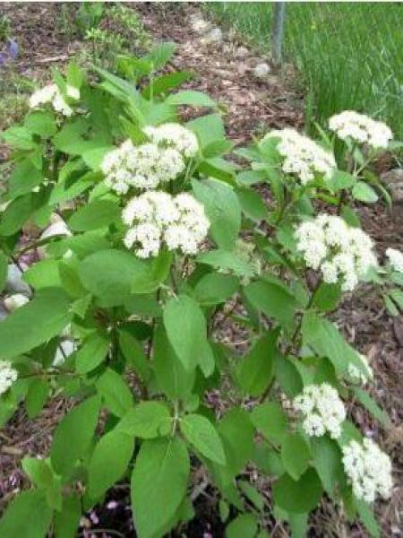 Viorne cotoneuse 'Mohican'