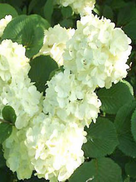 Viorne de Chine 'Grandiflorum'