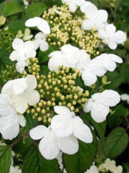 Viorne de Chine 'Summer Snowflake'