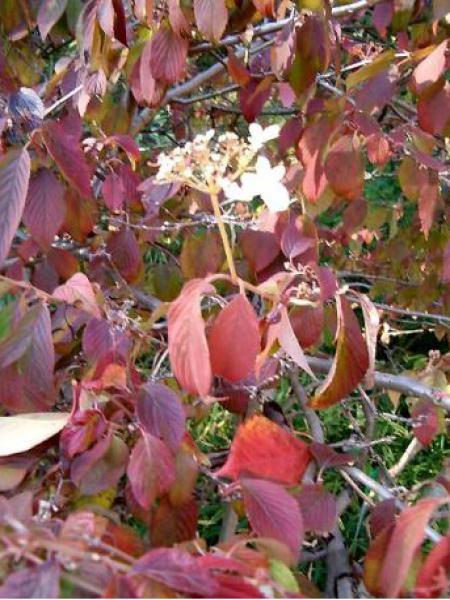 Viorne de Chine 'Tomentosum'