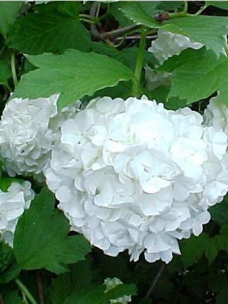 Viorne obier, Boule de neige 'Roseum'