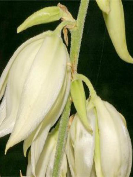 Yucca flaccida 'Golden Sword'
