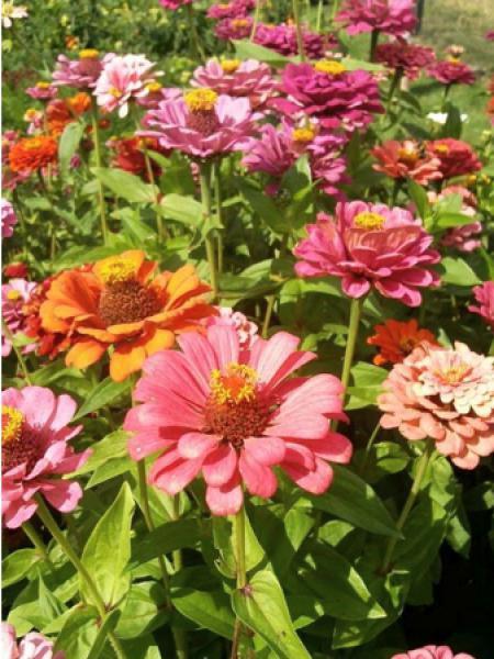 Zinnia à fleurs de dahlia doubles de Californie